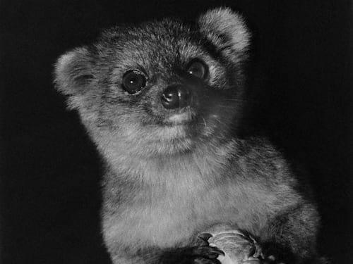 Cientistas descobrem mamífero semelhante ao Guaxinim na América do Sul