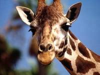 Girafas estão se espalhando pelo Facebook, entenda o porquê