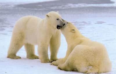 Internautas podem observar ursos polares atrav�s do Google Maps