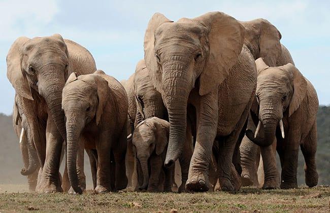Elefantes são capazes de distinguir vozes, diz estudo