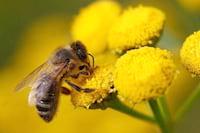 Inglêses alertam o mundo sobre a diminuição da população de abelhas