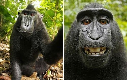 Selfie de macaco pode parar no Tribunal