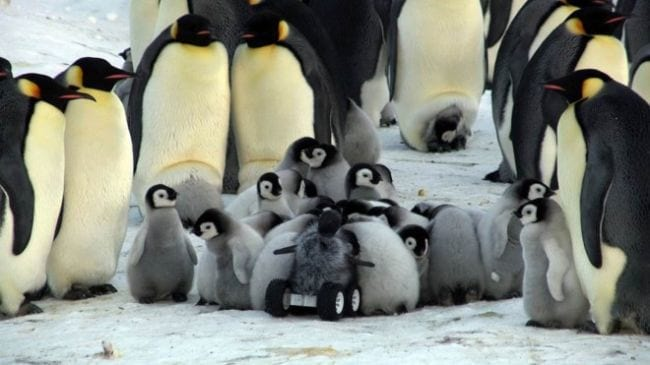 Robô ajuda monitorar a vida de pinguins na Antártica