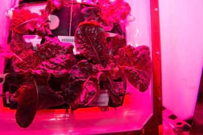 Verduras produzidas no espa�o far�o parte do card�pio dos astronautas pela primeira vez