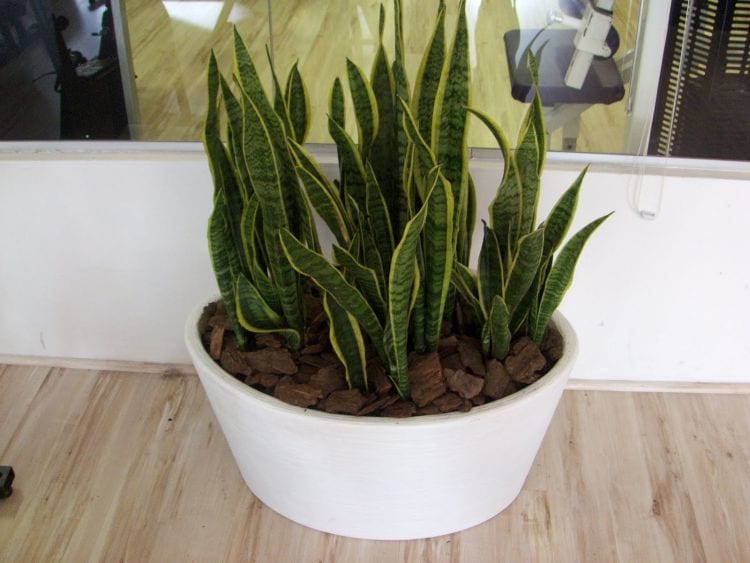 Conheça as cinco plantas recomendadas pela Nasa para purificar o ar da casa