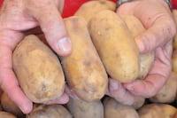 Nasa levará batatas para Marte. Saiba o motivo