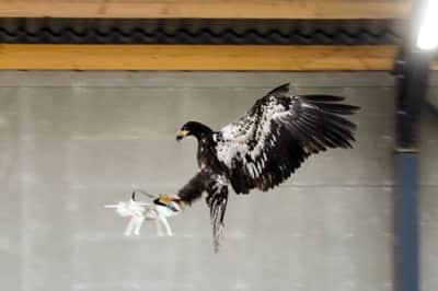 �guias s�o treinadas na Holanda para capturar drones