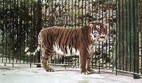 Espécie extinta de tigre está prestes a voltar à vida