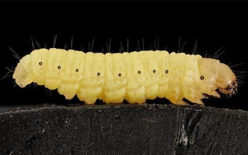 Pesquisadora descobre lagarta que degrada plástico