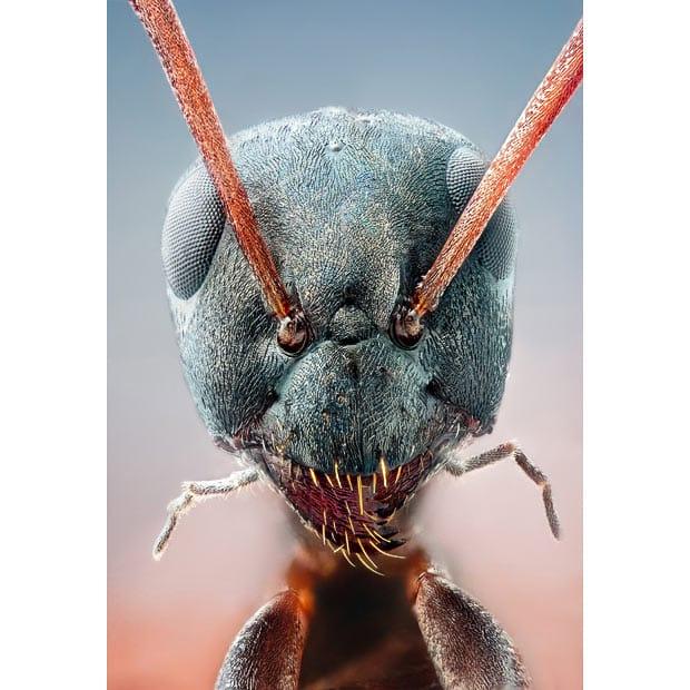 Close-up da formiga do seu jardim