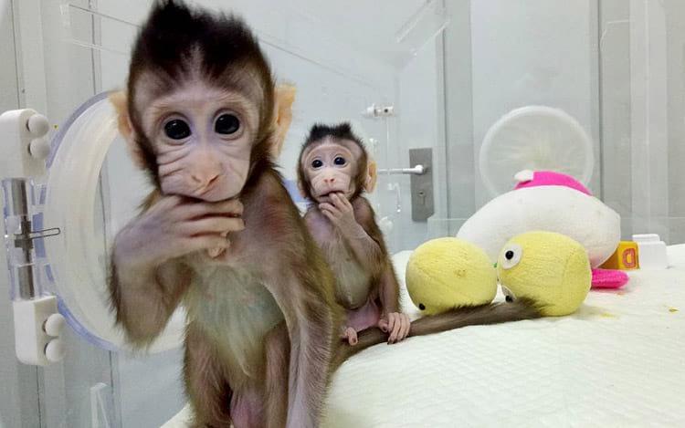 Zhong Zhong e Hua Hua os macacos clone. Foto: divulgação Chinese Academy of Sciences