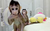Cientistas clonam macacos com mesma técnica de ovelha Dolly