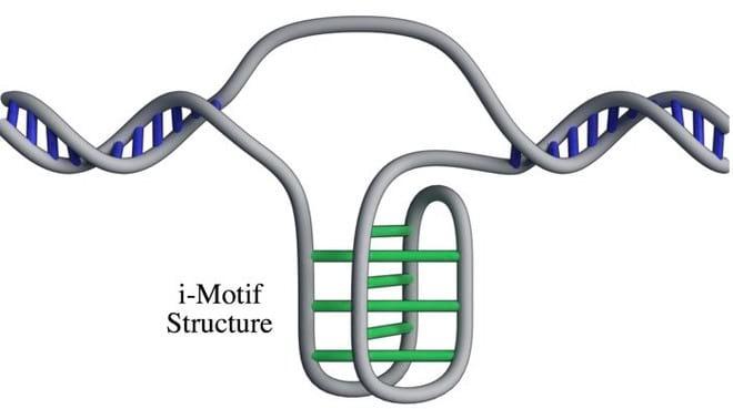 Cientistas encontraram uma nova estrutura de DNA que foi nomeado de i-Motif. A estrutura foi vista pela primeira vez na década de 90.