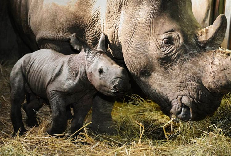 The rhinoceros population has already grown considerably since the beginning of the