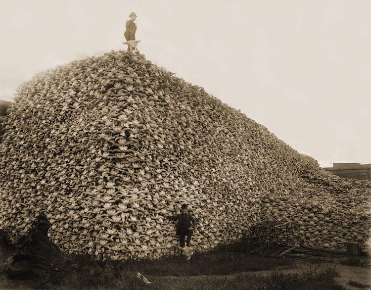 Caveiras de búfalos esperando para virarem fertilizante no séc. XIX