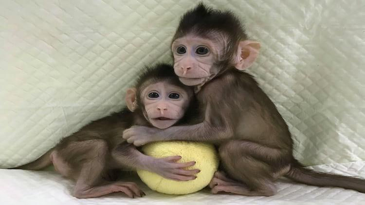 Macacos clonados na China.