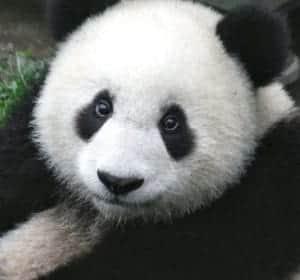Google panda ativo no Brasil hoje dia 12 de agosto