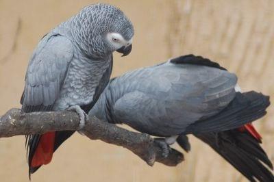 Estudos revelam que papagaios cinzentos possuem raciocínio lógico