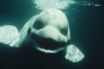 Pesquisadores americanos descobrem baleia capaz de emitir som humano